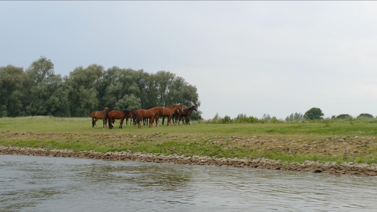Geldersche IJssel Pferde